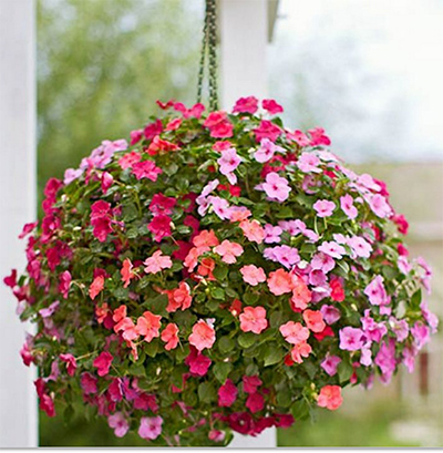 A-ball-of-impatiens-in-full-bloom