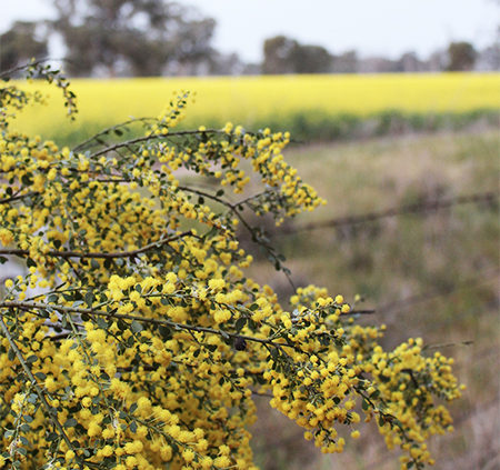 Acacia-Flowering-Wattle-Trees-Winter-Riverina-Area