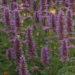 Agastache Plant Care