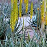 Yellow aloe vera plant