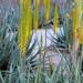Aloe Vera – The best Medicinal Plant Care