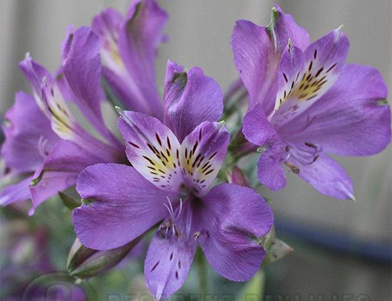 Alstroemeria-purple