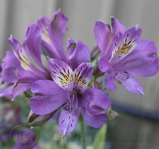Purple alstroemerias flower flowering in my garden