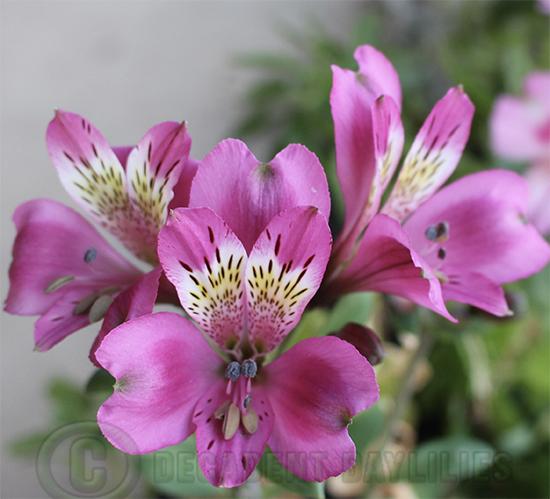 Tall stem pink alstroemeria growing in my garden