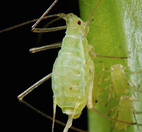 Aphids-Identifying-Preventing-Aphids-in-Your-Garden