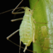 Aphids: Identifying & Preventing Aphids in Your Garden
