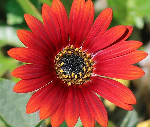 Arctotis-Hybrid-African-Daisy-
