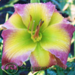 Are Daylilies Monoecious Plants