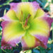 Are Daylilies Monoecious Plants?