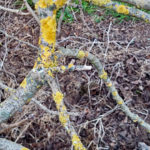 Lichens growing on Trees Branches