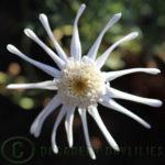 Argyranthemum frutescens Spider Daisy White