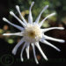 Marguerite Daisy Argyranthemum Care