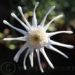 Marguerite Daisy Argyranthemum Care