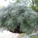 Artemisia-silver-mound-growing-in-a-hanging-basket (1)