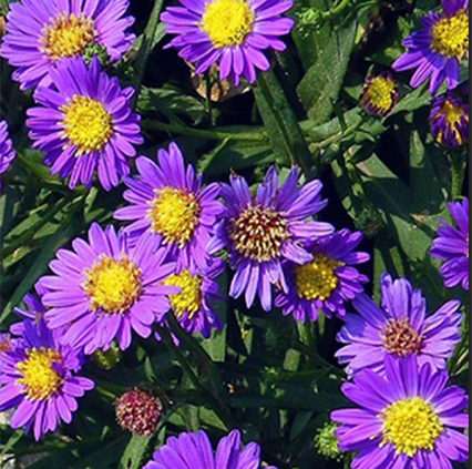 Aster-Flowers-Michaelmas-Daisies-Easter-Daisy-1