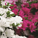 Azaleas-Keeping-Azalea-Shrubs-Healthy