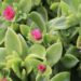 Baby Sun Rose Plant Care