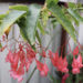 Begonia Fuchsioides Plant Care