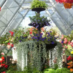 Begonias-in-full-bloom-grown-in-a-conservatory