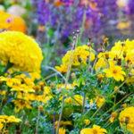 Biennial-Annual-Perennial-flowering-plants-