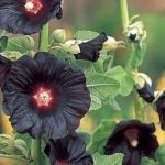 Black-Holly-Hock