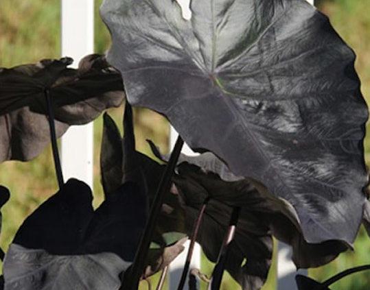 Black-Magic-Elephant-Ear-Taro-Colocasia-Esculenta