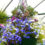Blue-lobelia-grown-in-a-hanging-basket