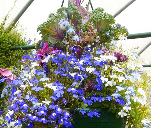 Blue-lobelia-grown-in-a-hanging-basket