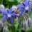 Borage-a-garden-plant-with-many-uses