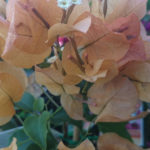 rich fawn Bougainvillea for sale