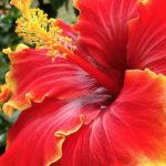 Brighten-you-Gardens-with-Hibiscus