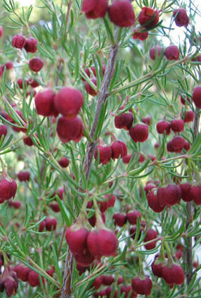 Brown-Boronia-Boronia-Megastigma
