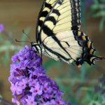 Buddleia-Buddleja-All-You-Wanted-to-Know-about-Butterfly-Bush