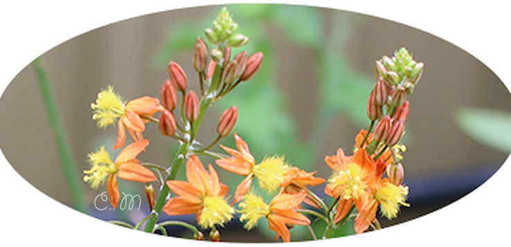 Bulbine-Frutescens-plant-uses-propagation-growing-tips-jpg