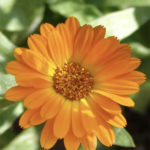 Calendula-orange-yellow-pot-marigolds