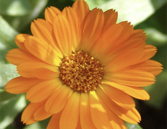 Calendula-orange-yellow-pot-marigolds