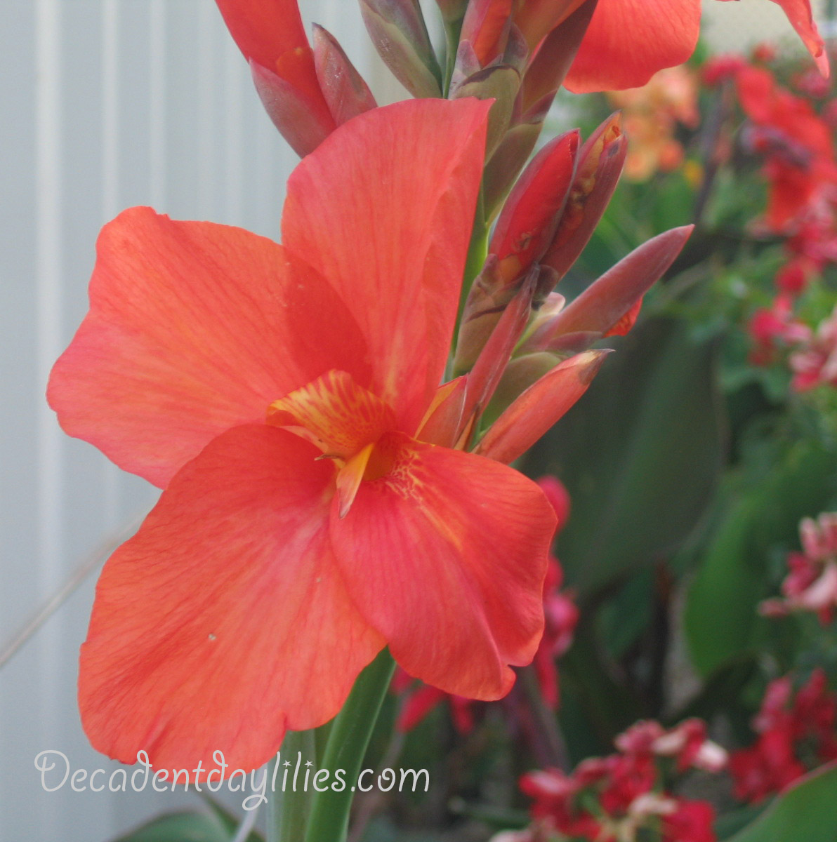 Cannas are They a type of Lily