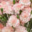 Carnations-propagation-methods