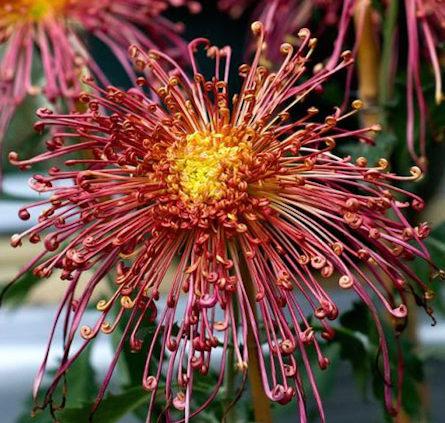 Chrysanthemums-Flowers-Growing-Care