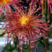 Chrysanthemums Flowers Growing & Care