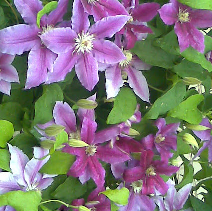 Clematis pink purple shades