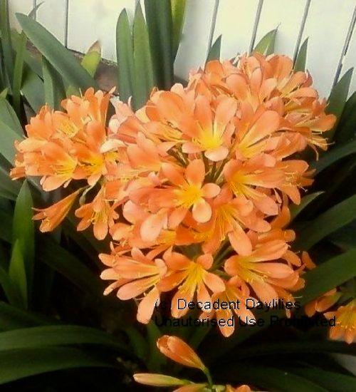 Clivias Flowering in Melbourne Australia
