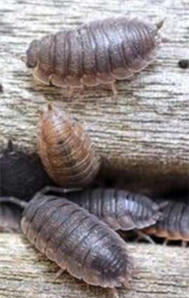 Control-Slaters-How-to-Get-Rid-of-Roley-Poleys-Pill-Bugs-Wood-Lice-Sowbugs