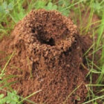 Large ant hill in the garden and lawn