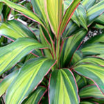 Cordylines-Tropical-Plants-Diseases