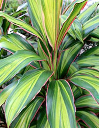 Cordylines-Tropical-Plants-Diseases