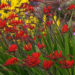 Crocosmia Lucifer Plant Care