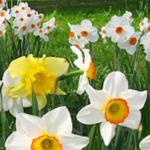 Daffodil Planting Guide Bulb in a park