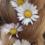 Daisy-Daisies-Perennial-Plants