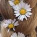 Daisy Daisies Perennial Plants